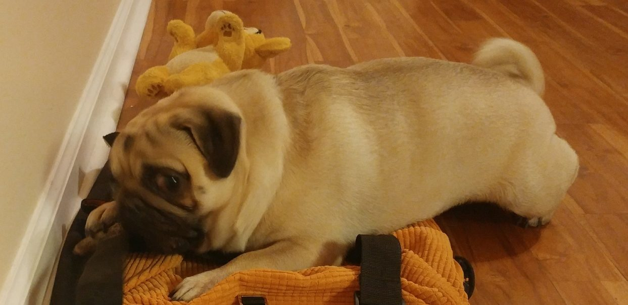 Pug puppies near me,Pug breeders near me
